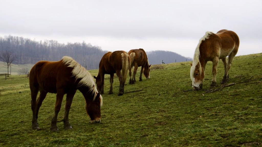 amish horses in pasture